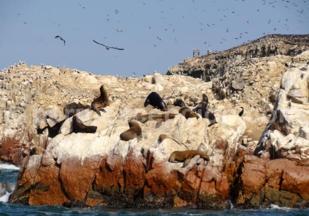 iles ballestas perou phoques, pingouins oiseaux