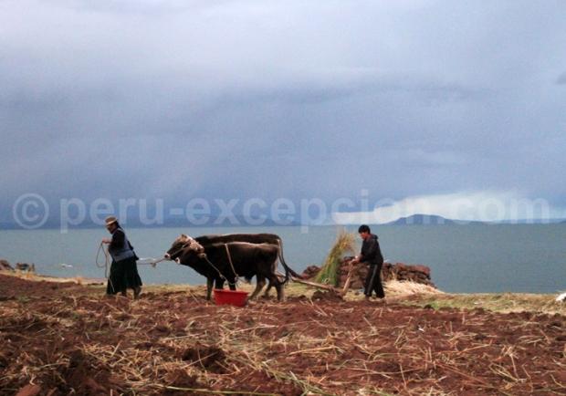 lac titicaca, boeufs tirant une charrue, pérou