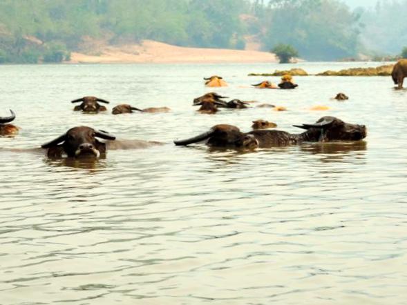 buffles dans le mekong, laos