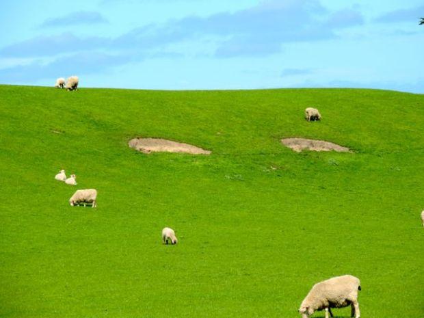 plaine verdoyante avec des moutons en Nouvelle zélande