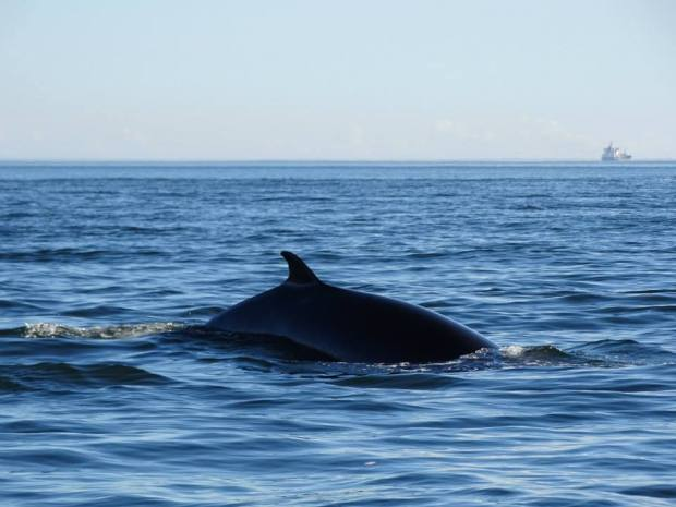 Grandes-Bergeronnes, Québec, baleine